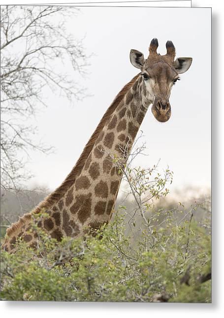 Giraffe Greeting Card by Stephen Stookey
