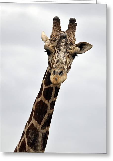 Drive Through Greeting Cards - Giraffe  the full front view Greeting Card by Laura Mountainspring