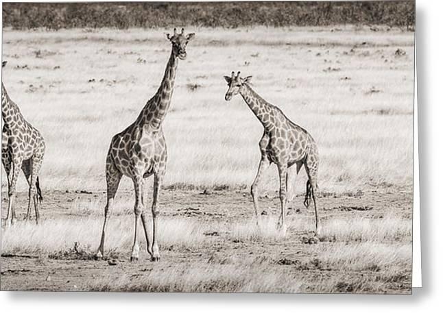 Herbivore Greeting Cards - Giraffe Trio Greeting Card by Duane Miller