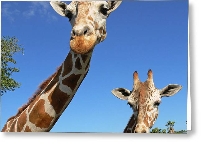 Giraffe Greeting Cards - Giraffes Greeting Card by Steven Sparks