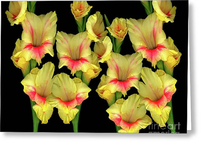 Value Greeting Cards - Gladiola Group Greeting Card by Christopher Gruver