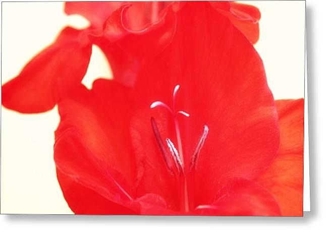 Gladiola Stem Greeting Card by Cathie Tyler