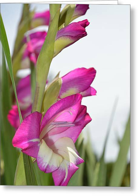 Layers Greeting Cards - Gladiolus Greeting Card by Linda Covino