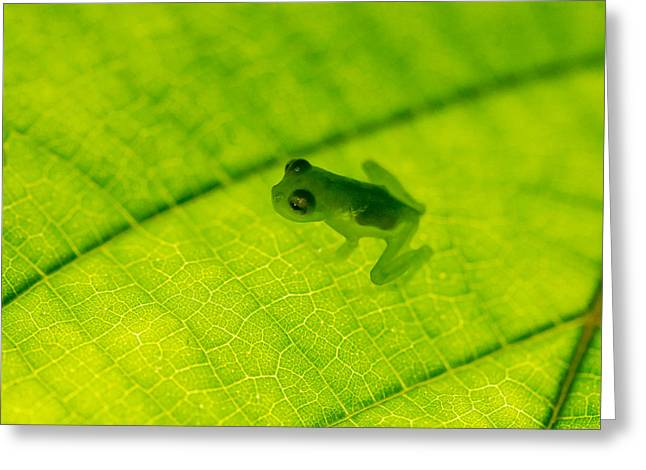 Glass Frog On Leaf, Sarapiqui, Costa Greeting Card by Panoramic Images