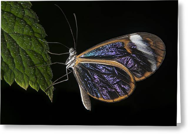 Glass Wing Greeting Card by John Adams