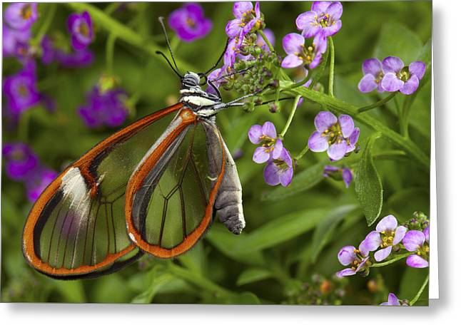Biology Greeting Cards - Glasswing butterfly Greeting Card by Michael Turco