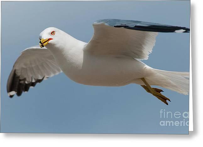 Larus Delawarensis Greeting Cards - Gliding... Greeting Card by Nina Stavlund