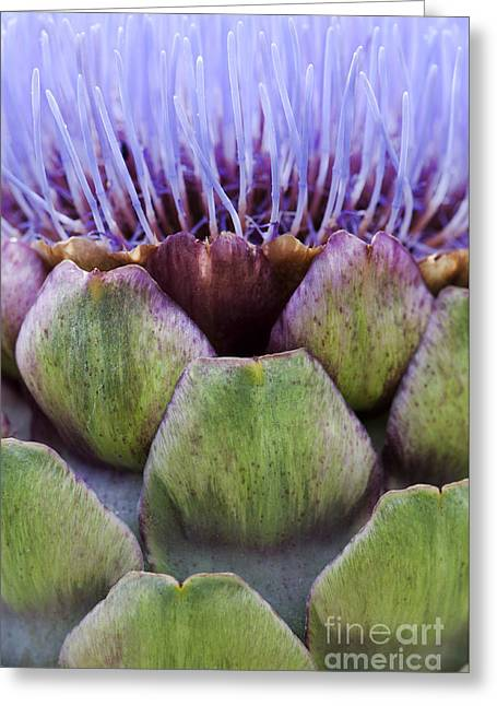 Thistle Greeting Cards - Globe artichoke Greeting Card by Tim Gainey