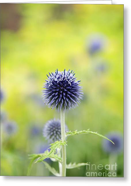 Globe Thistle Flowering Greeting Card by Tim Gainey
