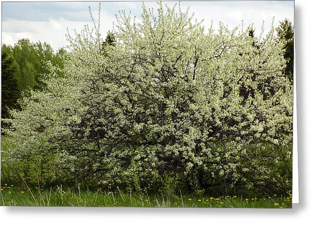 Maine Spring Greeting Cards - Glorious Spring Bush Greeting Card by William Tasker