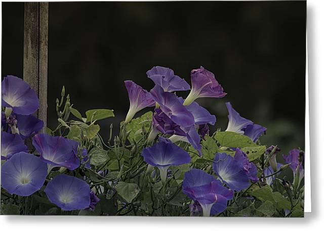 Morning Glory Art Greeting Cards - Glory in the Flowers Greeting Card by Kim Hojnacki