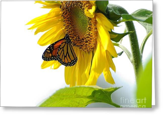 Monarch Greeting Cards - Glowing Monarch on Sunflower Greeting Card by Edward Sobuta