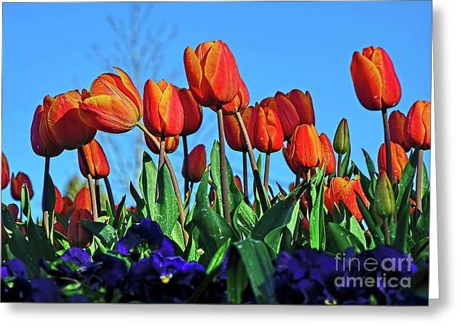 Glowing Tulips Against Blue Sky Greeting Card by Kaye Menner