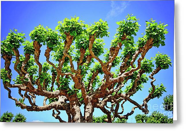 Gnarly Tree Of San Francisco Greeting Card by Anna Serebryanik