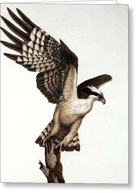 Pencil Greeting Cards - Going Fishin osprey Greeting Card by Pat Erickson