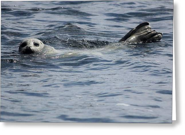 Sea Lions Greeting Cards - Going for a swim Greeting Card by Christine Patterson