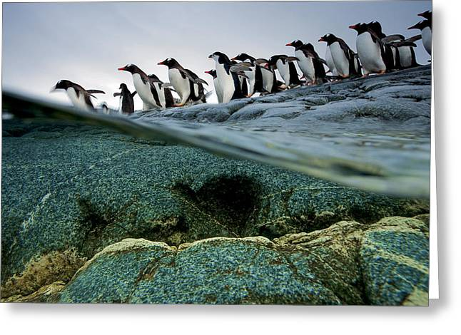 Antarctic Greeting Cards - Going Go Sea, Gentoo Penguins, Line Greeting Card by Paul Nicklen