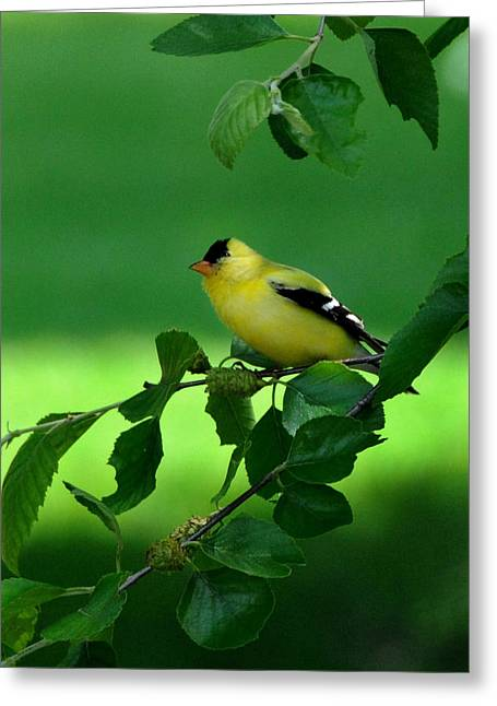 Yellow Beak Greeting Cards - Gold Finch Greeting Card by Lyle  Huisken