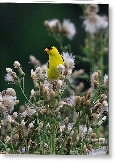 Feeding Mixed Media Greeting Cards - Gold Finches-12 Greeting Card by Robert Pearson