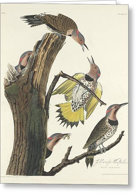 Woodpecker Greeting Cards - Gold-Winged Woodpecker Greeting Card by John James Audubon