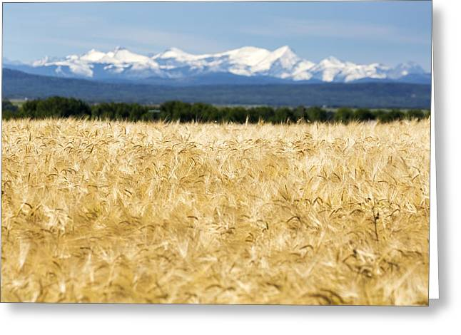 Canadian Foothills Landscape Greeting Cards - Golden Barley Field With A Row Of Trees Greeting Card by Michael Interisano