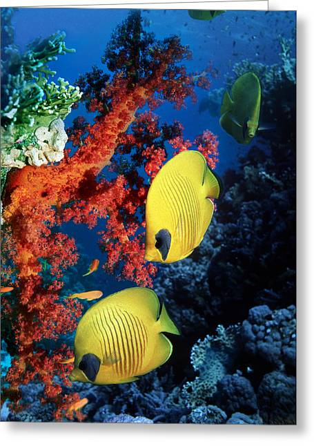 Bony Fish Greeting Cards - Golden Butterflyfish Greeting Card by Georgette Douwma