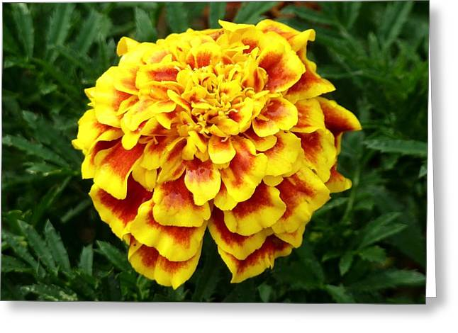 Marigold Greeting Cards - Golden Cascade Greeting Card by Tim Mattox