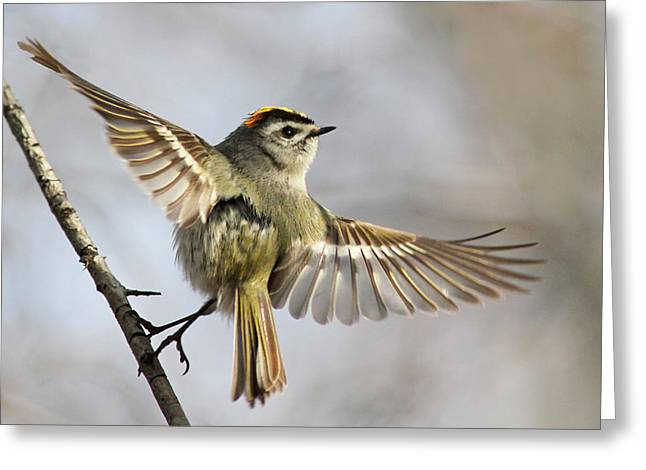 Wild Bird Greeting Cards - Golden-crowned-kinglet Greeting Card by Mircea Costina