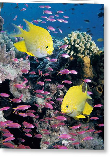 Damselfish Greeting Cards - Golden Damselfish With Anthias Greeting Card by Georgette Douwma