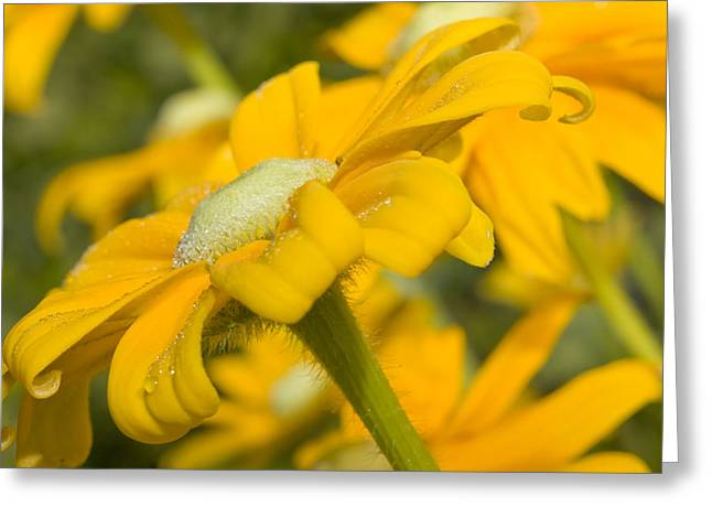 Dewdrops Greeting Cards - Golden Dream Greeting Card by Barbara  White