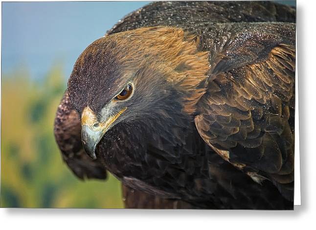 Sea Birds Greeting Cards - Golden Eagle Greeting Card by Bill Tiepelman