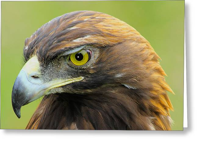 Colorado Posters Greeting Cards - Golden Eagle Greeting Card by Shane Bechler