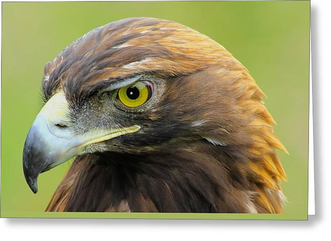 Golden Eagle Greeting Cards - Golden Eagle Greeting Card by Shane Bechler