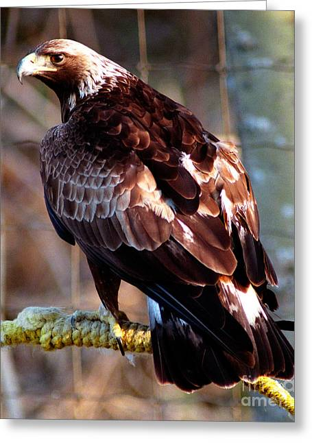 Golden Eagle Greeting Card by Terry Elniski