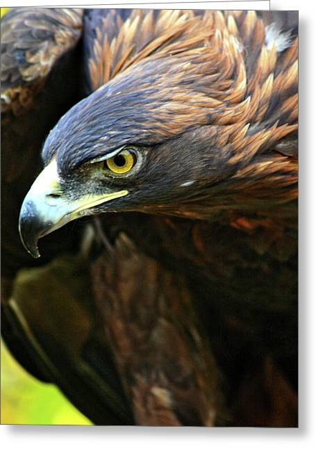 Golden Eyes Greeting Cards - Golden Eye Greeting Card by Scott Mahon