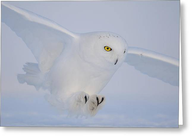 Snowy Greeting Cards - Golden Eyes On The Hunt Greeting Card by Yves Adams