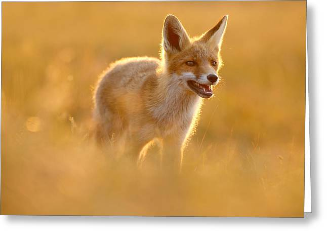 Golden Fox - Backlit Juvenile Red Fox On  A Summer Day Greeting Card by Roeselien Raimond