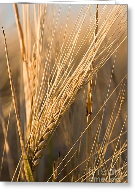 Daydream Greeting Cards - Golden Grain Greeting Card by Cindy Singleton