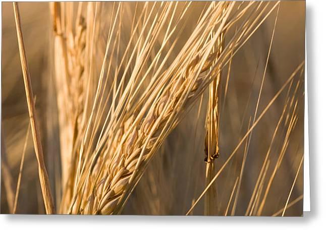 Golden Grain Greeting Card by Cindy Singleton
