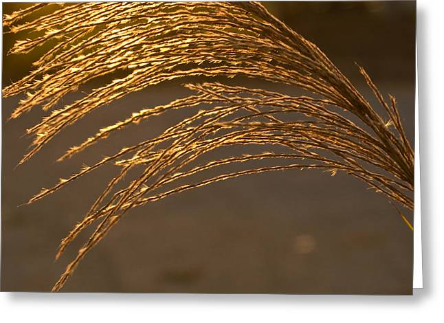 Translucence Greeting Cards - Golden Grass Greeting Card by Douglas Barnett