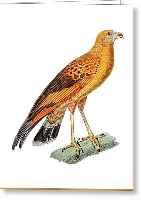 Golden Headed Preditor Greeting Card by Douglas Barnett