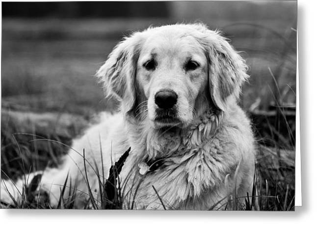 Dog Photographs Greeting Cards - Golden Lab Greeting Card by Cale Best
