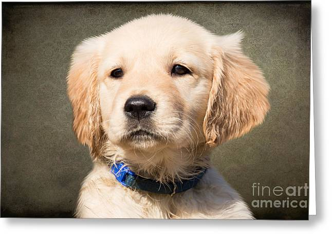 Golden Labrador Puppy Greeting Card by Stephen Smith