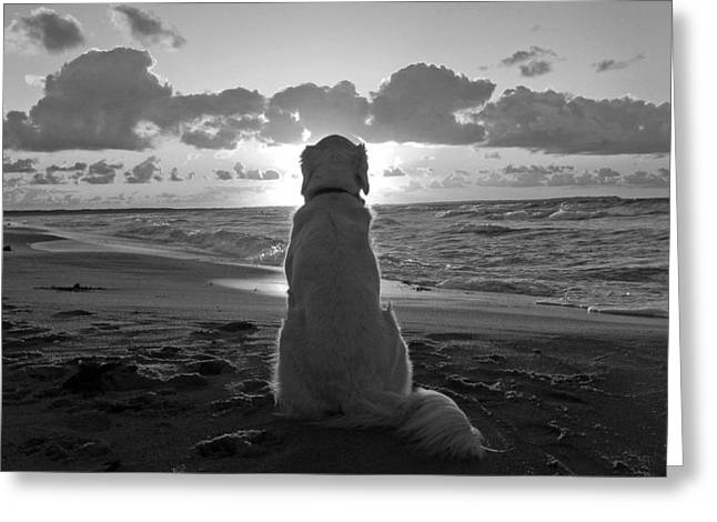 Monochromatic Greeting Cards - Golden labrador watching sunset Greeting Card by Sumit Mehndiratta