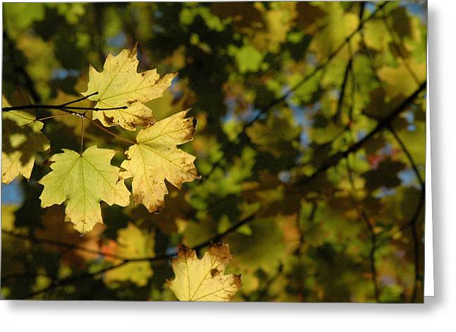 Yellow Leaves Greeting Cards - Golden Morning Greeting Card by Trish Hale