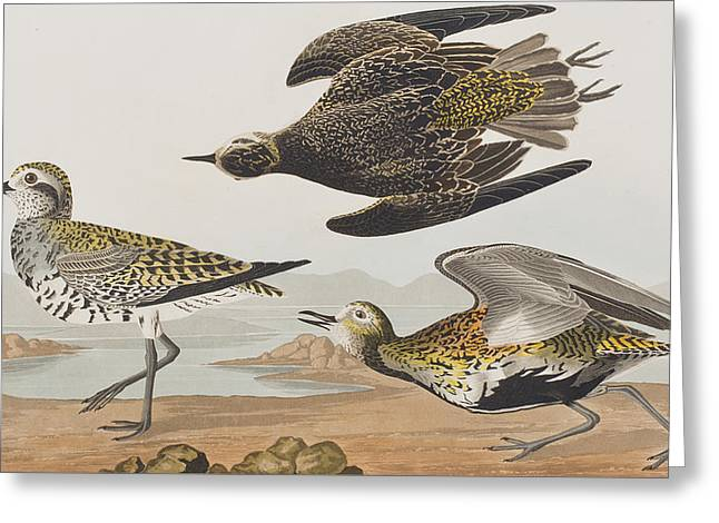 Flying Bird Drawings Greeting Cards - Golden Plover Greeting Card by John James Audubon