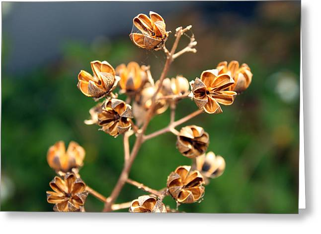 Crape Greeting Cards - Golden pods Greeting Card by Evelyn Patrick
