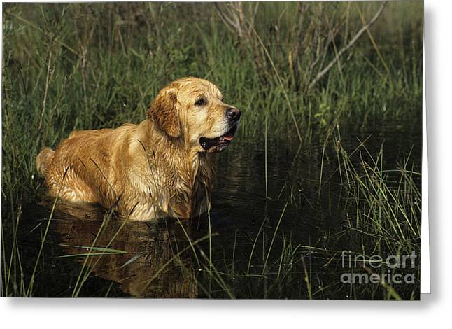 Breeds Greeting Cards - Golden Retriever Greeting Card by Jean-Louis Klein & Marie-Luce Hubert