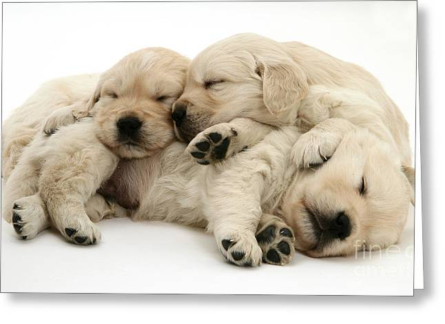 Bred Photographs Greeting Cards - Golden Retriever Puppies Greeting Card by Jane Burton