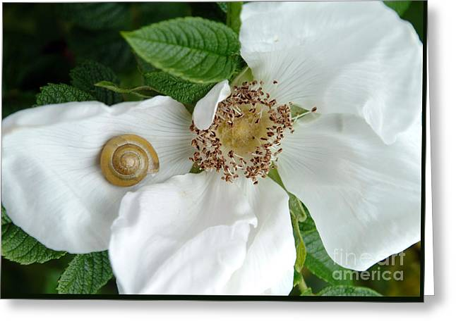 Maine Beach Greeting Cards - Golden Snail On Beach Rose Greeting Card by Georgia Sheron